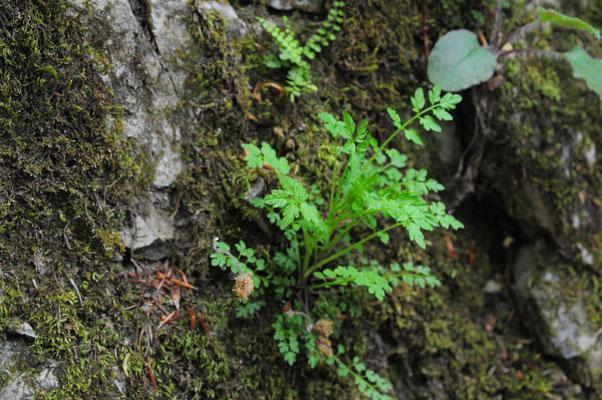 Cardamine impatiens ( Spring-Schaumkraut)