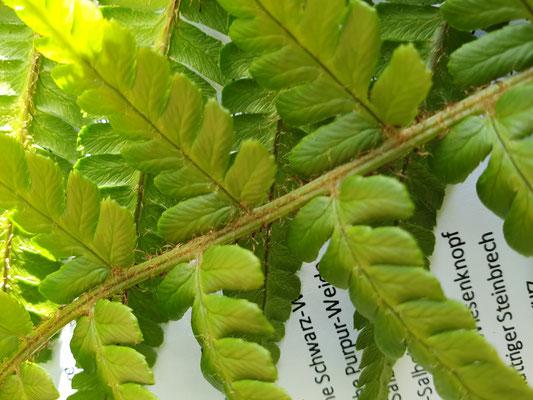 Dryopteris filix-mas (Echter Wurmfarn)