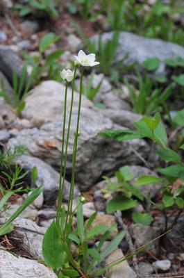 Sumpf-Herzblatt ( Parnassia palustris)