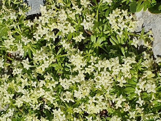 Galium megalospermum (Schweizer Labkraut)