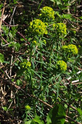 Euphorbia cyparissias (Zypressenblättrige Wolfsmilch)