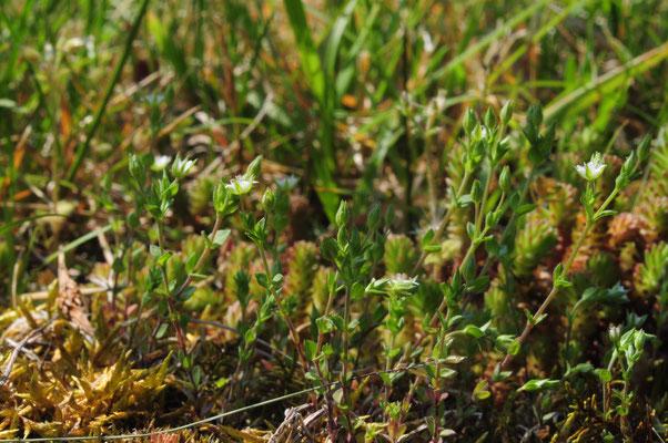 Arenaria serphyllifolia ( Quendelblättriges Sandkraut)