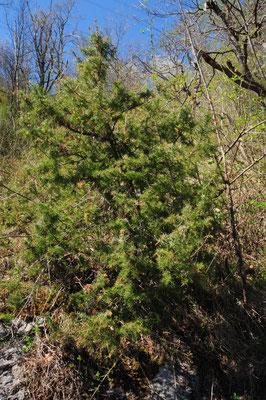 Juniperus communis (Gewöhnlicher Wachholder)