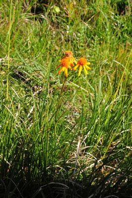 Senecio abrotanifolius (Eberreisblättriges Greiskraut)