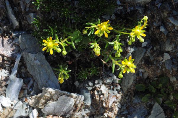 Saxifraga aizoides ( Bach-Steinbrech)