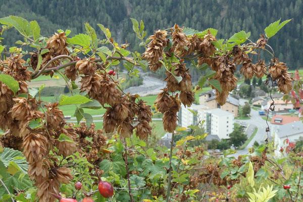 Humulus lupulus (Hopfen)