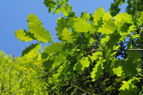 Quercus petraea ( Trauben-Eiche)