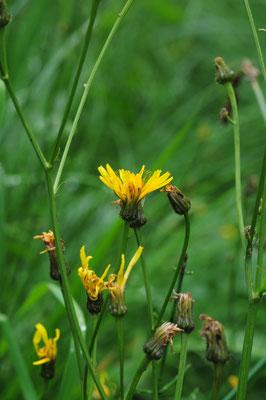 Crepis paludosa (Sumpf-Pippau)