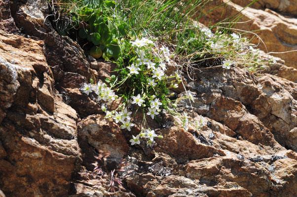 Saxifraga bryoides ( Moosartiger Steinbrech)