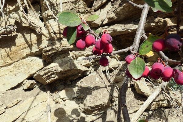 Cotonoaster integerimus (Kahle Steinmispel)
