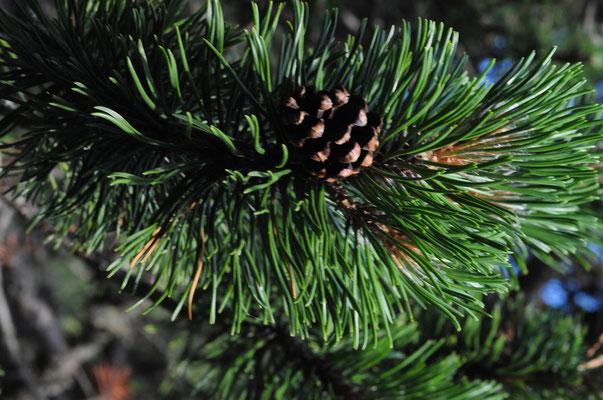 Aufrechte Berg-Föhre ( Pinus mugo subsp. uncinata)
