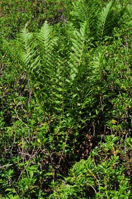 Dryopteris filix mas ( Echter Wurmfarn)