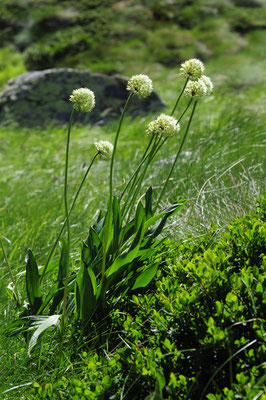 Allium victorialis ( Allermannsharnisch)