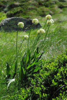Allium victorialis ( Allermannsharnisch)