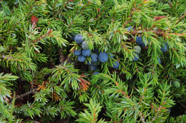 Juniperus communis alpina (Zwerg-Wachholder)
