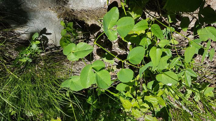 Laserpitium gaudinii (Gaudins Laserkraut)