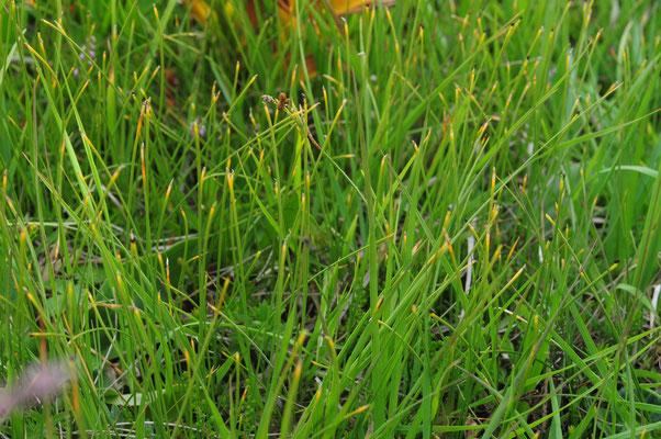 Trichophorum cespitosum (Rasen-Haarbinse)