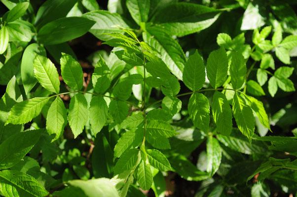 Fraxinus excelsior ( Gemeine Esche)