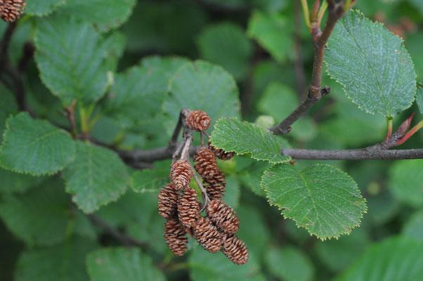 Alnus viridis (Grün-Erle)