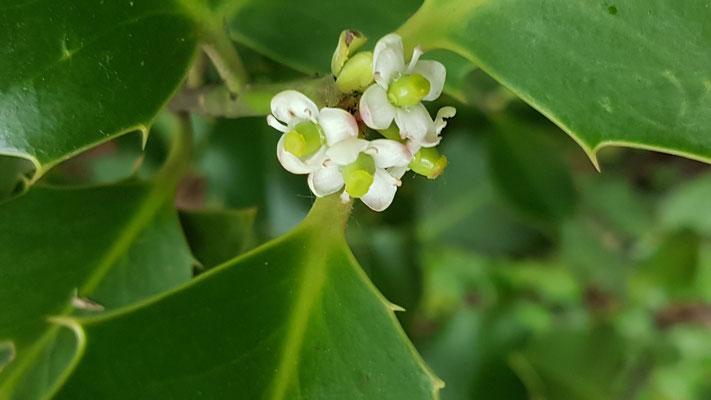 Ilex aquifolium Weibliche Blüte (Stechpalme)
