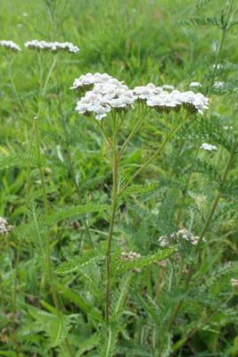 Achillea millefolium (Gewöhnliche Wiesen-Schafgarbe)