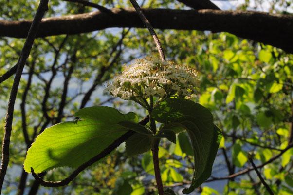 Viburnum lantana ( Wolliger Schneeball)