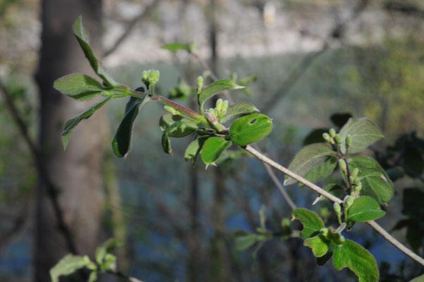 Lonicera caprifolium (Rote Heckenkirsche)