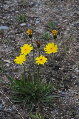 Grasnelkenblättriges Habichtskraut ( Hieracium staticifolium