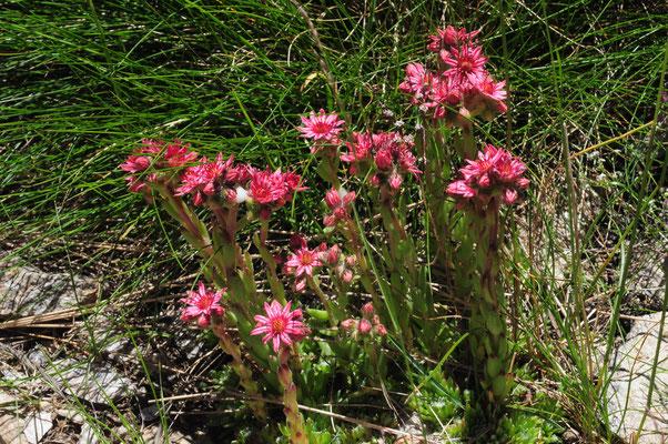Sempervivum montanum ( Berg-Hauswurz)