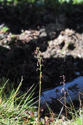 Thalictrum alpinum (Alpen-Wiesenraute)