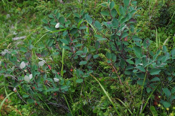Cotoneaster tomentosus (Filzige Steinmispel)