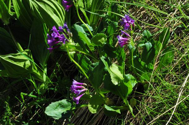 Primula latifolia ( Breitblättrige Primel)