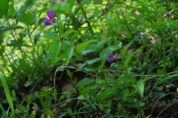 Lathyrus vernus ( Frühlings-Platterbse)