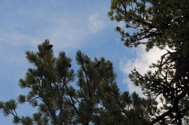 Pinus cembra (Arve)