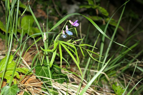 Lathyrus vernus gracilis (Zierliche Frühlings-Platterbse)