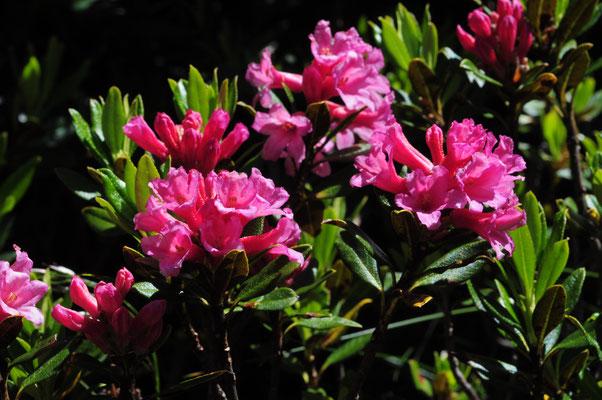 Rhododendron ferrugineum ( Rostblättrige Alpenrose)