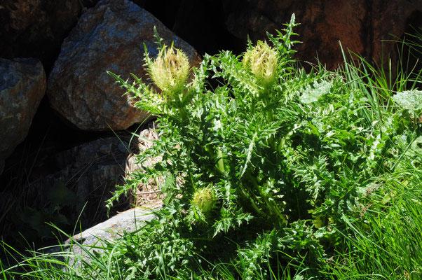 Cirsium spinosissimum ( Alpen-Kratzdistel)