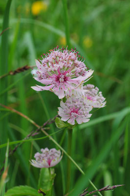 Astrantia major (Grosse Sterndolde)