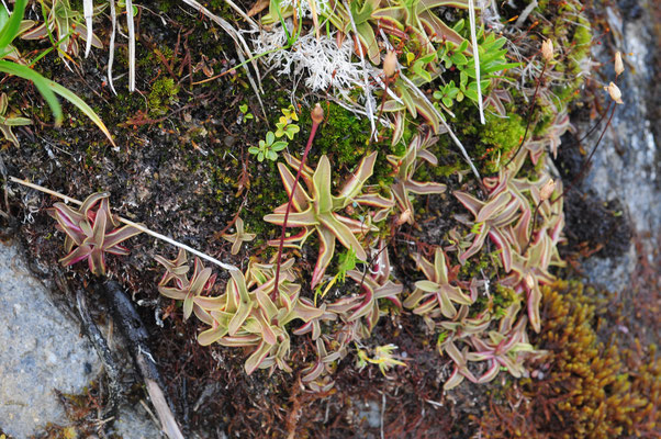 Pinguicula alpina (Alpen-Fettblatt)