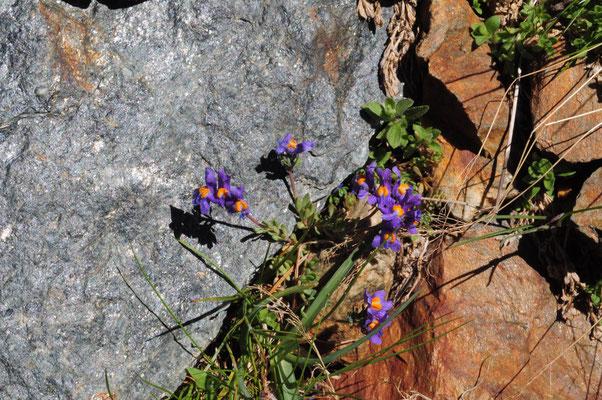 Linaria alpina ( Alpen -Leinkraut)