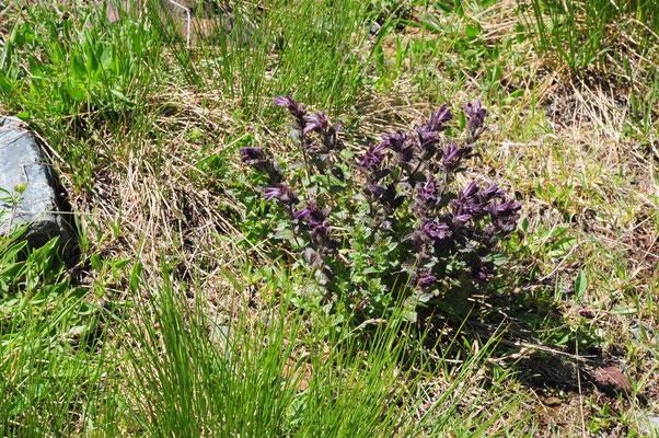 Bartsia alpina ( Alpenhelm)