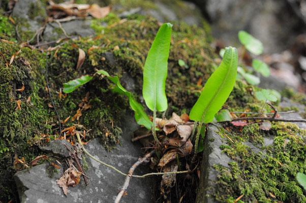 Phyllitis scolopendrium ( Hirschzunge)