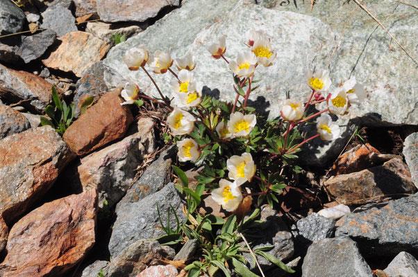Ranunculus glacialis ( Gletscher-Hahnenfuss)