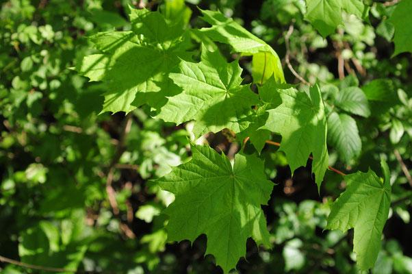 Acer platanoides ( Spitz-Ahorn)