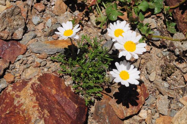 Leucanthemopsis alpina ( Gewöhnliche alpenmargerite)