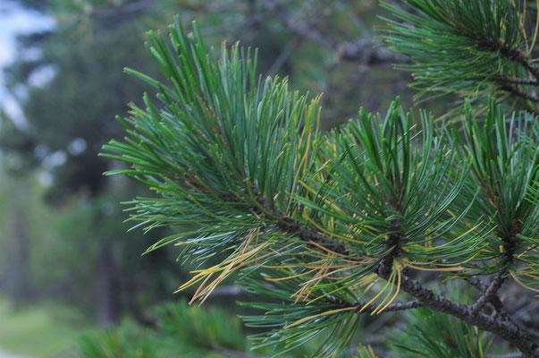 Arve ( Pinus cembra)