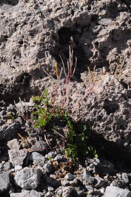 Arabis caerulea (Bläuliche Gänsekresse)