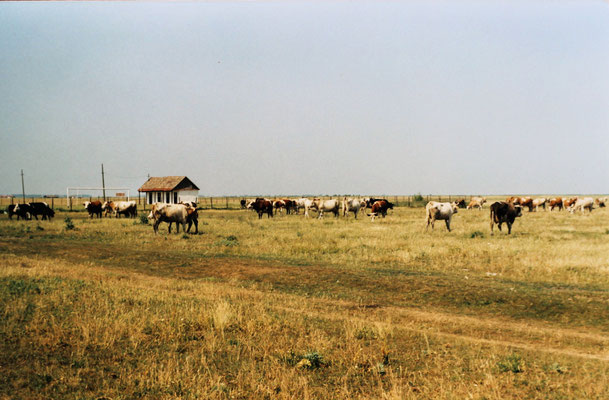 Kühe auf der Weide - Im Hintergrund der Sportplatz mit den Umkleidekabinen ( Inainte Sanmartin)