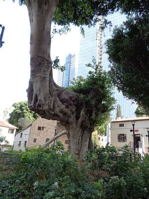 Tel_Aviv_Alleebaum_1