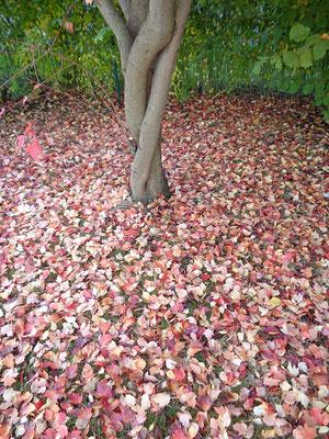 Garten_Ahornblätter